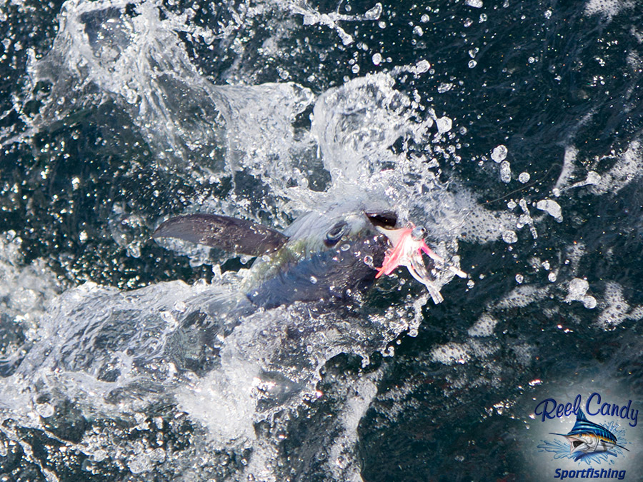 Catching Blackfin Tuna off Jupiter