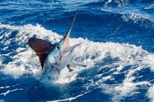 White Marlin Jupiter, Stuart, Palm Beach, The Bahamas