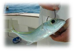 Kite Fishing Jupiter Stuart Florida
